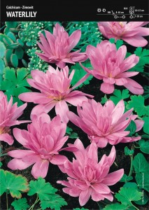 COLCHICUM - ZIMOWIT WATERLILY - 2pcs.