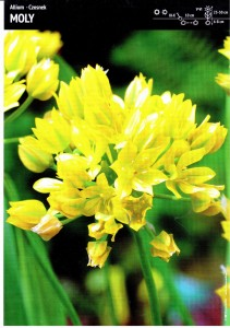 ALLIUM MOLY - GOLDEN PURPOSES - 30 pcs.