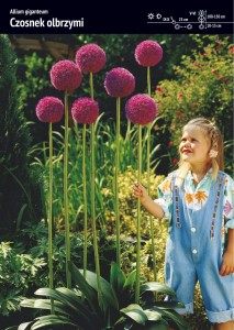 ALLIUM GIGANTEUM -HUGE GARLIC - 2 pcs.