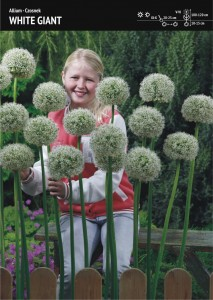 ALLIUM - GARLIC WHITE GIANT - 3pcs